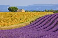 フランス ヴァレンソル ラベンダー畑