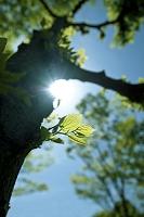 エノキ 木の幹から芽吹く新芽と太陽