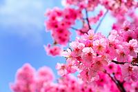 青空と八重桜のアップ