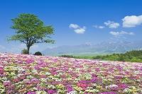 栃木県 リビングストーンデージーと那須連山