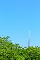 東京都 新緑の桜と東京スカイツリー