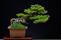 盆栽 五葉松