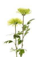 花 キクのアナスタシア