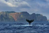 東京都 小笠原 ハートロックの前で尾びれを上げるザトウクジラ