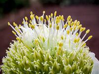 長ネギの花
