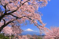 静岡県 興徳寺の桜と富士山