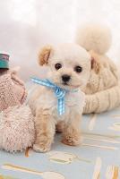 トイプードルの仔犬