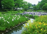 千葉県 野田市総合公園 水生植物園 菖蒲