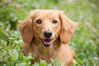 ミニチュアダックスフント 犬