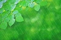 梅雨 雨と若葉