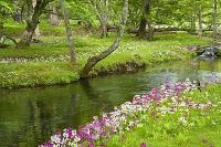 栃木県 奥日光に咲くクリンソウ