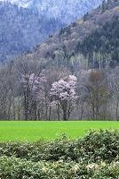 エゾ山桜 佐呂間町