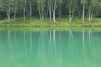 白樺と緑の水面