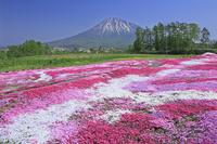 北海道 三島さんの芝ざくら庭園と羊蹄山