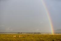 ケニア ライオンと虹