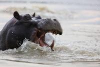 ボツワナ モレミ野生動物保護区 カバ