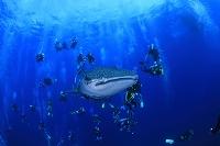 ジンベイザメと魚の群れ