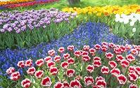 チューリップ咲く庭園