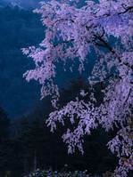 広島県 湯の山温泉のしだれ桜