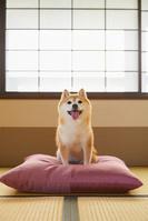 座布団の上に座る豆柴犬