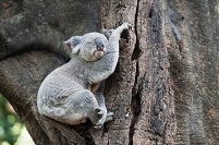 オーストラリア ブリスベン 木の上で眠るコアラ
