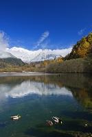 長野県 大正池よりカモと紅葉と穂高岳冠雪 上高地