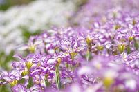 アヤメの花の群生