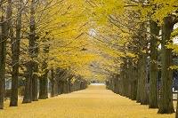 東京都 銀杏並木