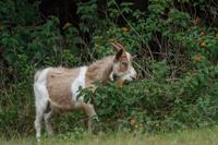 外来種のヤギ