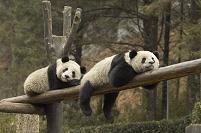 昼寝 ジャイアントパンダ