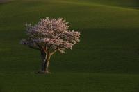 北海道 一本桜