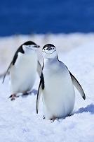 南極 南極半島 ペンギン