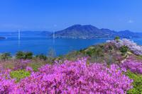 愛媛県 ミツバツツジと桜咲く開山公園より多々羅大橋