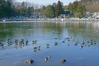 滋賀県 三島池とカモ