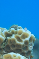 サンゴ礁のイメージ イシガキカエルウオ