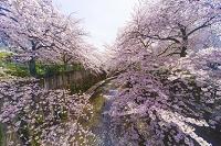 東京都 板橋区 石神井川 桜並木