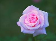 バラの花 (ブライダル ピンク)