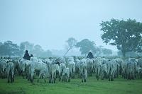 ブラジル パンタナル 牛の群れとカウボーイ