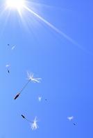 青空に舞うタンポポの綿毛と太陽の光