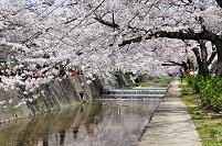 兵庫県 満開の桜と夙川公園