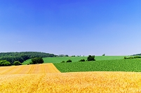 北海道 起伏がある小麦畑の丘