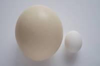 ダチョウの卵と鶏卵
