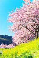 静岡県 南伊豆 春の河津桜