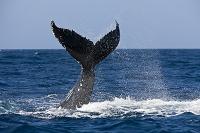ドミニカ共和国 ザトウクジラ
