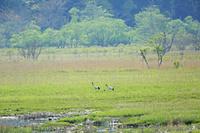 北海道 湿原で子育てする丹頂夫婦