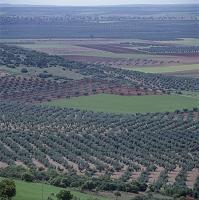 コルトバにて 一面のオリーブ畑