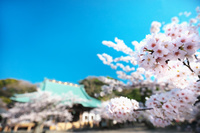 神奈川県 鎌倉市 光明寺の桜