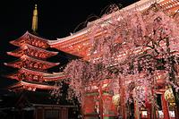 東京都 浅草寺 ライトアップされたしだれ桜と宝蔵門と五重塔