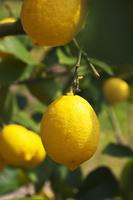 愛媛県 瀬戸内海 岩城島のレモン