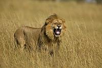 アフリカ ライオン